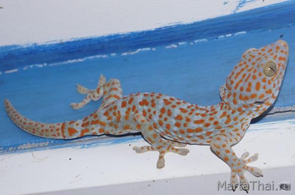 тукке геккон